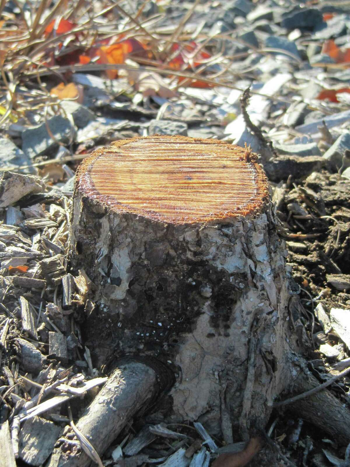 Pictured is the stump of a tree that was axed at Lake Mohegan.