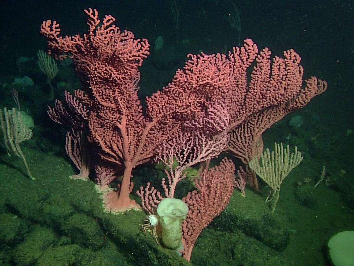 Bubblegum coral (Paragorgia arborea) at Sur Ridge, a rocky outcropping off the Big Sur coast, photographed in 2016.
