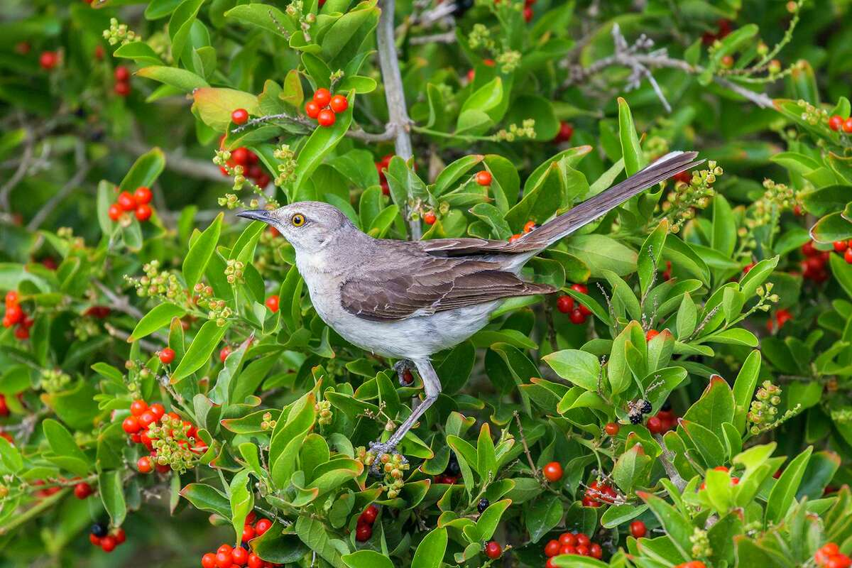 Northern mockingbird is the state bird of Texas. The bird is adaptable and has a variety of beautiful songs.