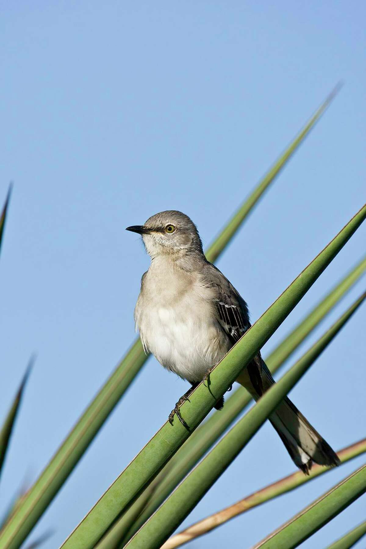 Thomas Jefferson owned several northern mockingbirds. He loved their varied songs.