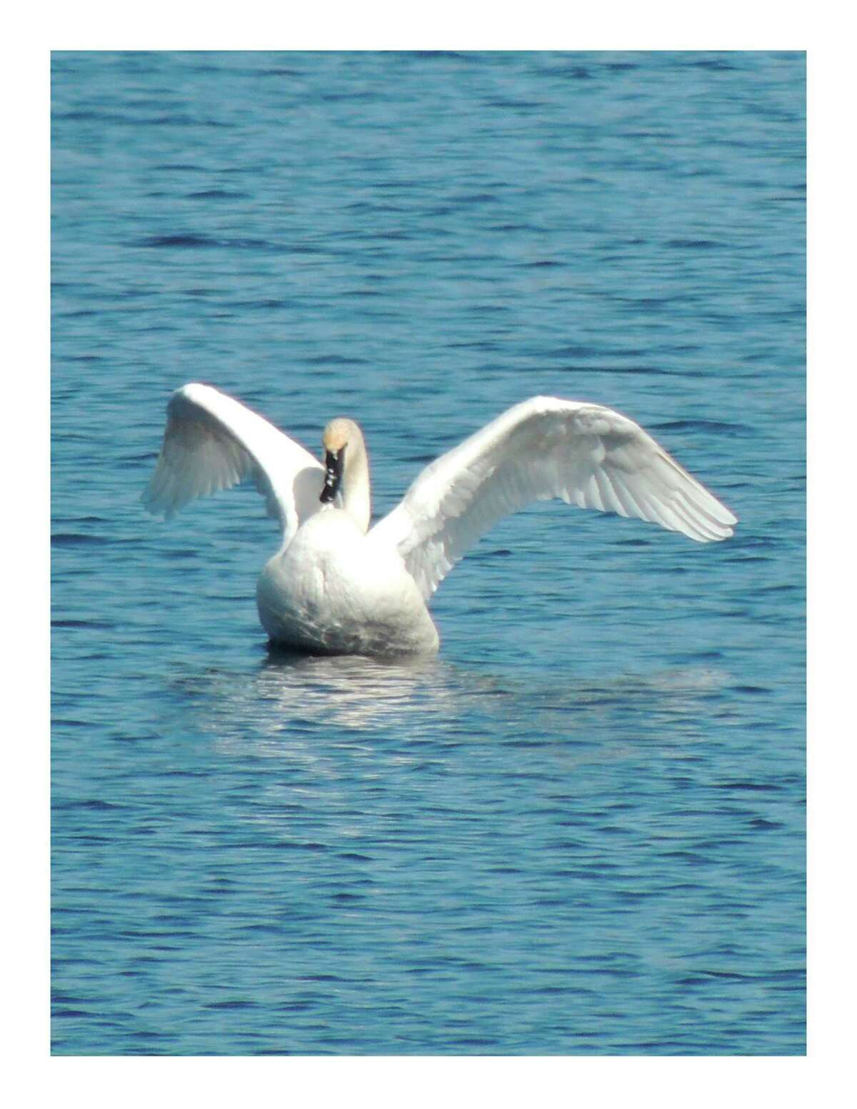 Trumpeter swans were completely gone from Michigan, but were re-introduced and are now doing fairly well. A pair stopped at Little Swamp Sanctuary in early spring this year on the migratory flight to the north. They may have a nesting location in northern Michigan.(Photo provided/Barb Rogers)