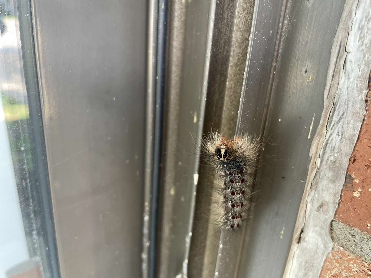 Gypsy moth caterpillar at Woodland Place Apartments in Midland