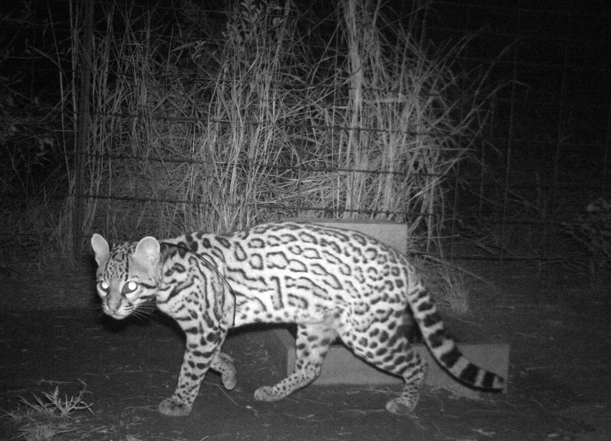 The department says Laguna Atascosa National Wildlife Refuge - the largest protected area of natural habitat left in the Rio Grande Valley - got photos of five juvenile ocelots walking on one of its trails.