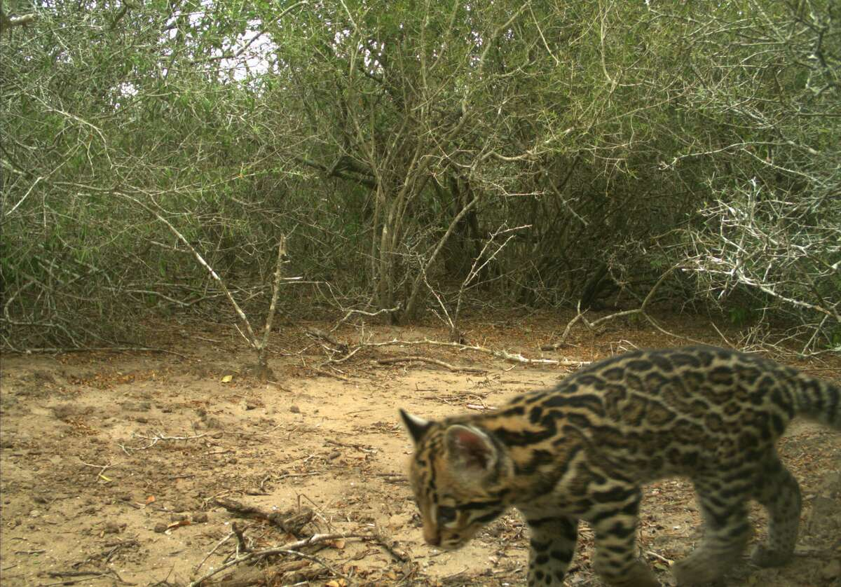 In a Facebook post on Tuesday, the Texas Parks and Wildlife Department posted about the sighting of an extremley rare species: ocelots