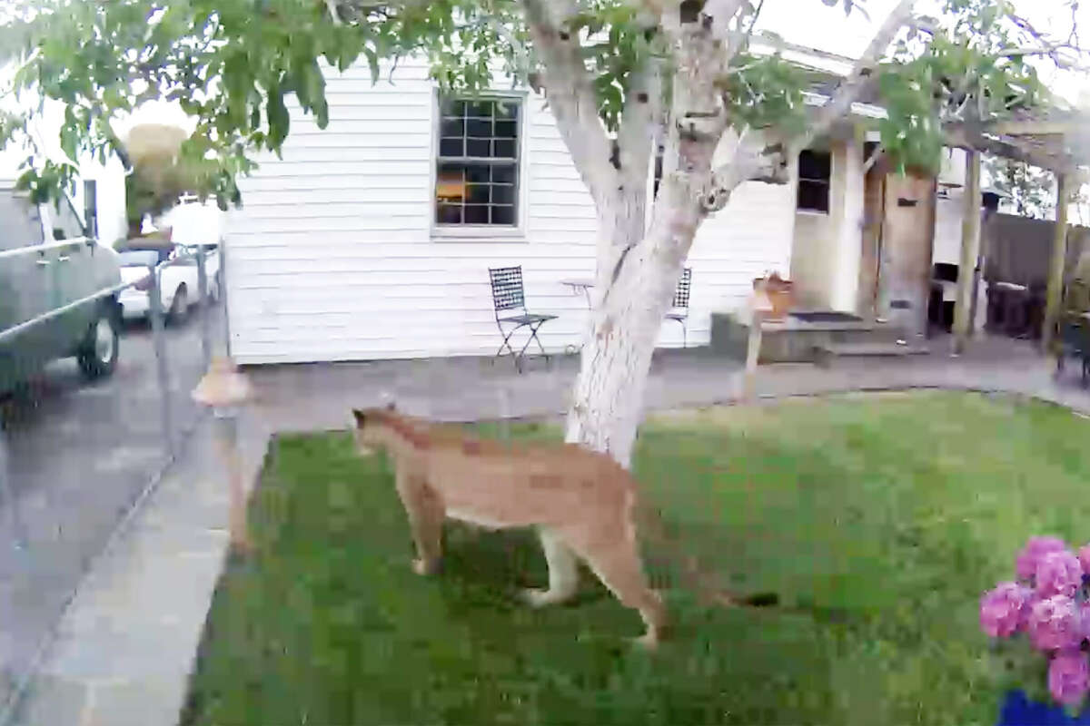 A Petaluma resident captured video footage of a mountain lion in his yard in June 2021.