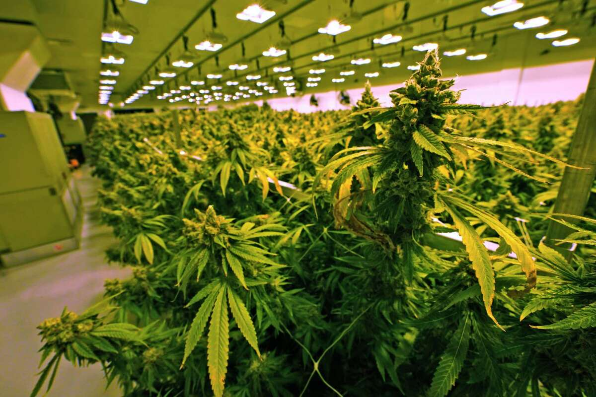 Marijuana plants under cultivation in Richmond, Va., with Virginia legalizing recreational use this week in addition to a medical cannabis law already on the books. Starting Thursday in Connecticut, residents can possess marijuana legally with employers having another year to come up with workplace policies. (AP Photo/Steve Helber)