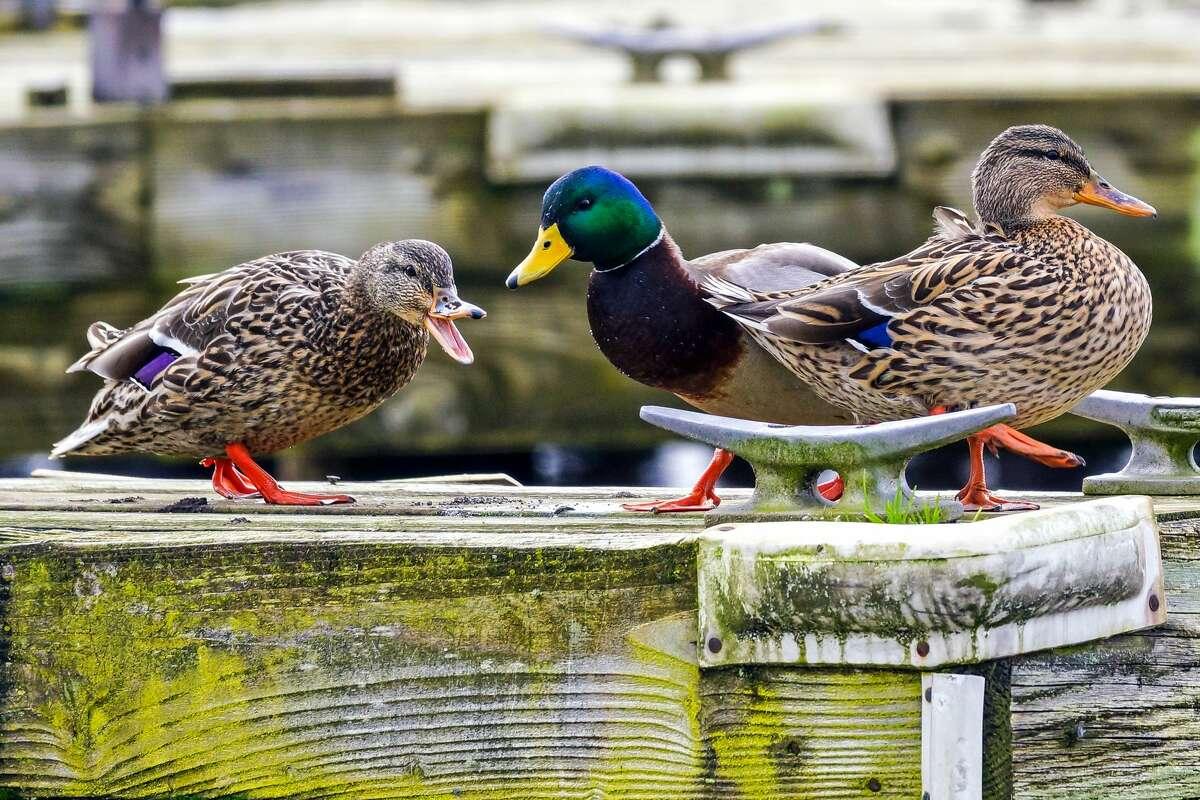 Mallard ducks perch on a dock at Juanita Beach Park in Kirkland, Washington.