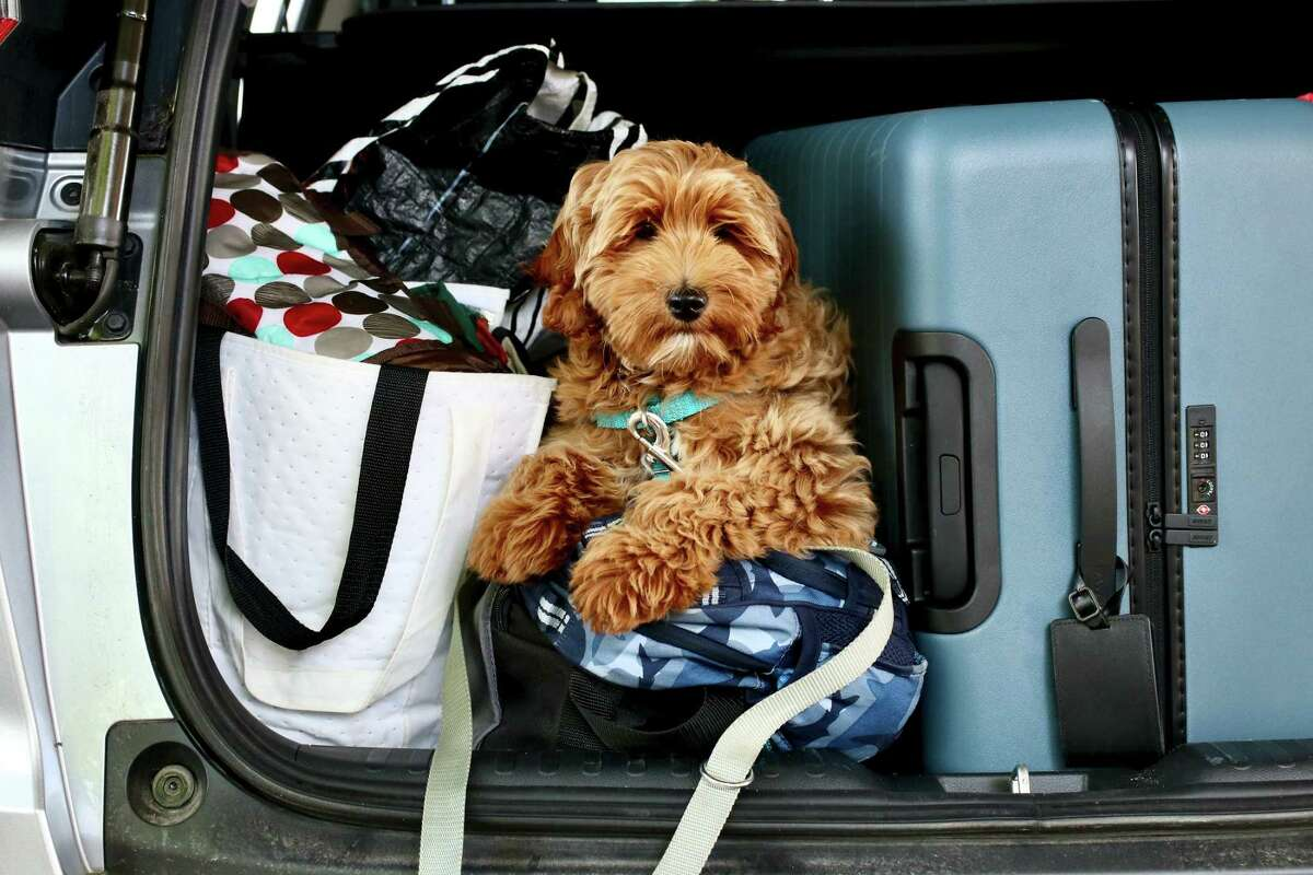The author's Australian labradoodle Tuuli Waffles sits on the luggage in the family car during her inaugural family vacation.