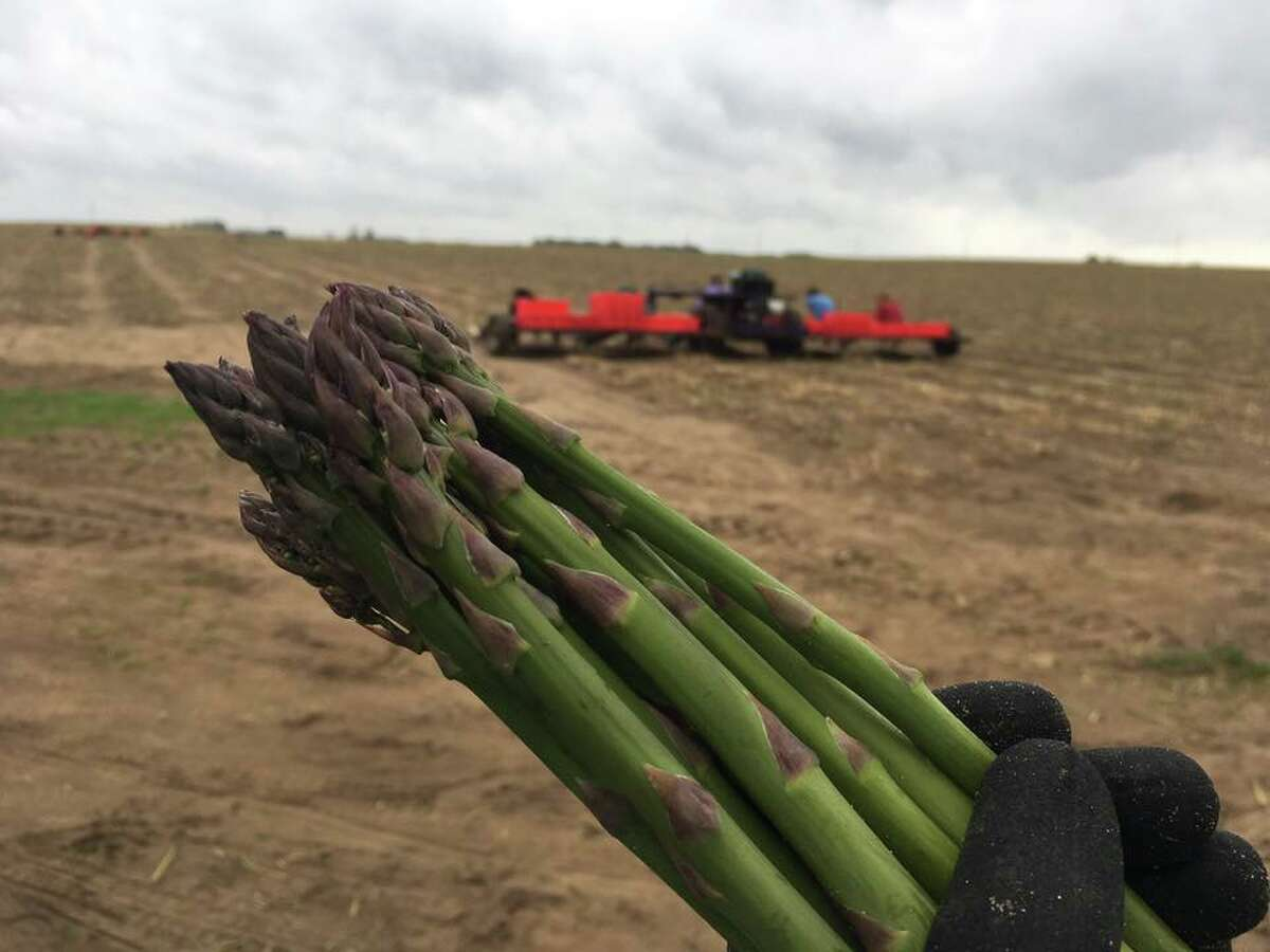 Colleen Gregory, co-owner of Gregory's Asparagus Farms in Rodney, said since their farm has an irrigation system in place, the crops weren't affected by the drought.