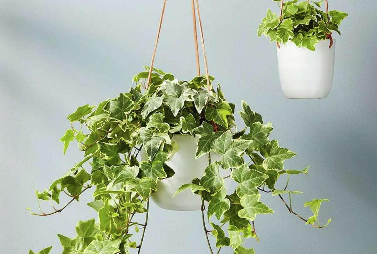 English Ivy Hanging Plant, Starting at $38.24