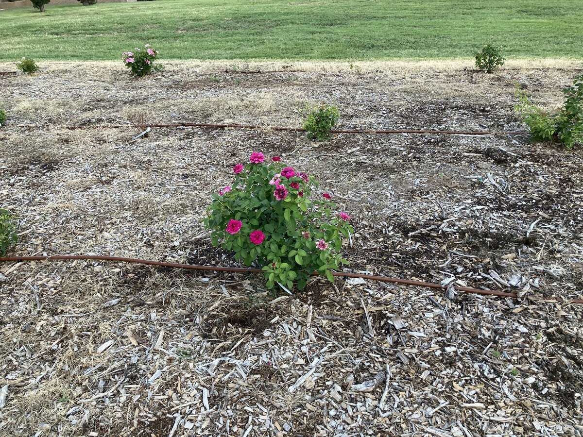 Roses at Midland College