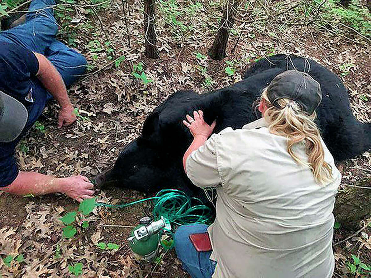 A bear dubbed Bruno by social media is sedated and transported to safety by Missouri Department of Conservation staff in St. Charles County, Missouri, last year. Wildlife officials said the bear that gained a social media following while wandering through west-central Illinois and other parts of the Midwest has died after being hit by a vehicle in Louisiana.