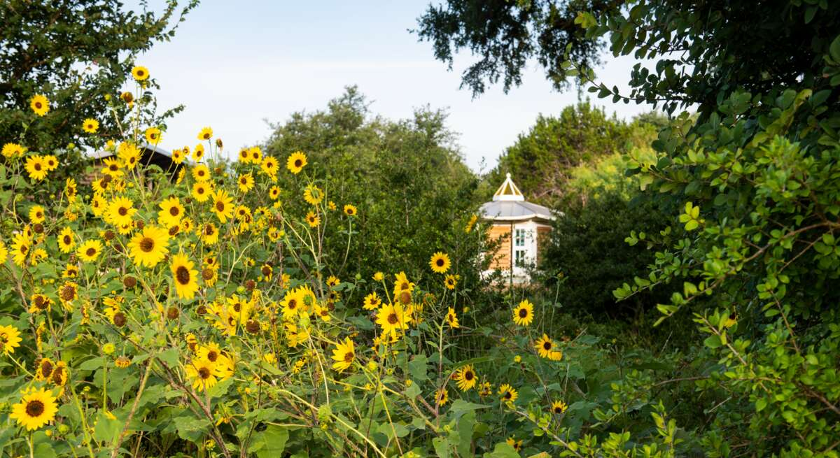 A perfect storm of reasons has led to Texas's impressive sunflowers this summer.