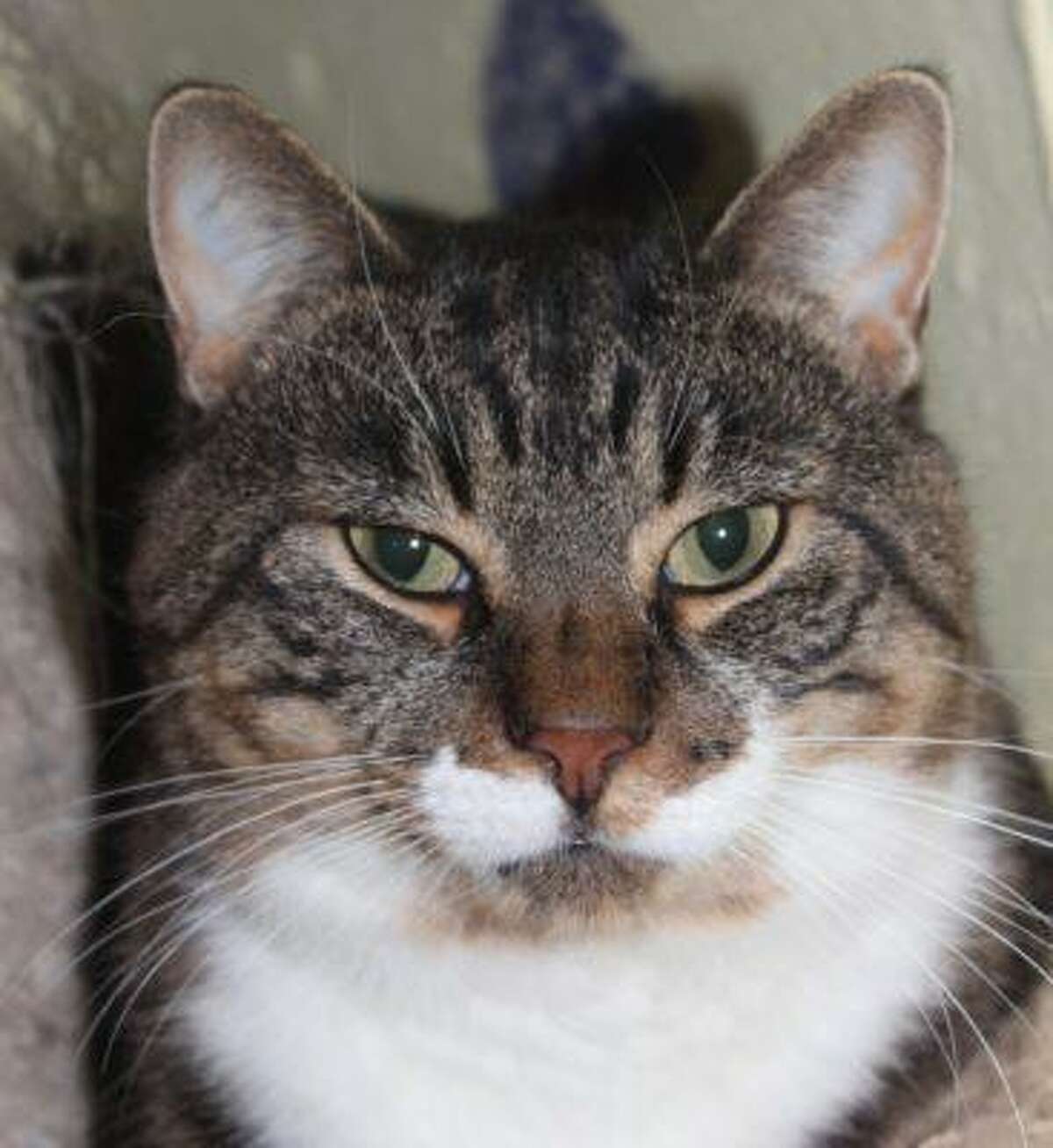"""Milo is a 6-year-old brown tabby who loves petting, scratches and belly rubs. """"I'm very affectionate and loving,"""" he says. """"My dream is that someone will adopt me and build me a catio (it's okay if you can't do this though). I'm FIV+ and I'm not contagious to humans. This is also very difficult for other cats to catch (we'd have to exchange blood). I hope you are my patient person who is willing to just love me for who I am. You must know that I absolutely hate being picked up and will not allow this. So you must feed me treats daily in a carrier or have a vet that will come to your home. I also love my kitty friends so I need to be in a home with another friendly kitty. Visit www.CatTalesCT.org/cats/Milo-2, call 860-344-9043 or email info@CatTalesCT.org. Watch our TV commercial: https://youtu.be/Y1MECIS4mIc"""