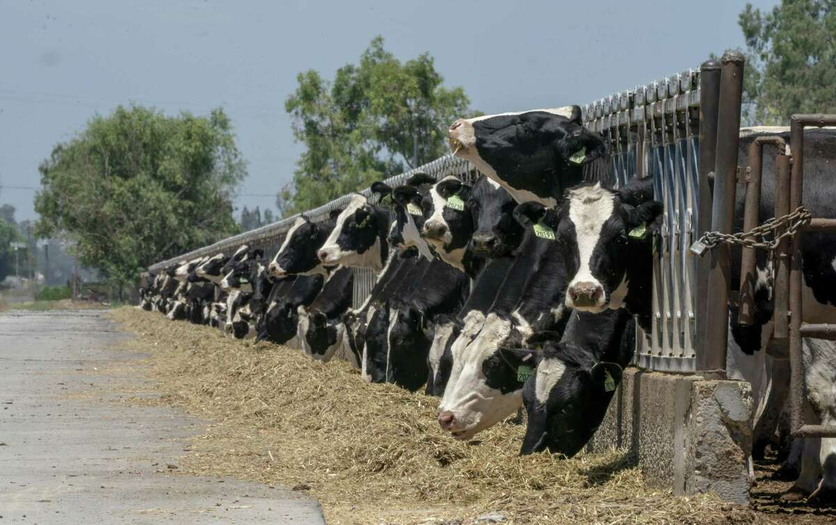 Cattle graze on dried grass in Stevinson, California, last month. Almost three-fourths of the western U.S. is gripped by drought so severe it supercedes any records in the 20-year history of the U.S. Drought Monitor.