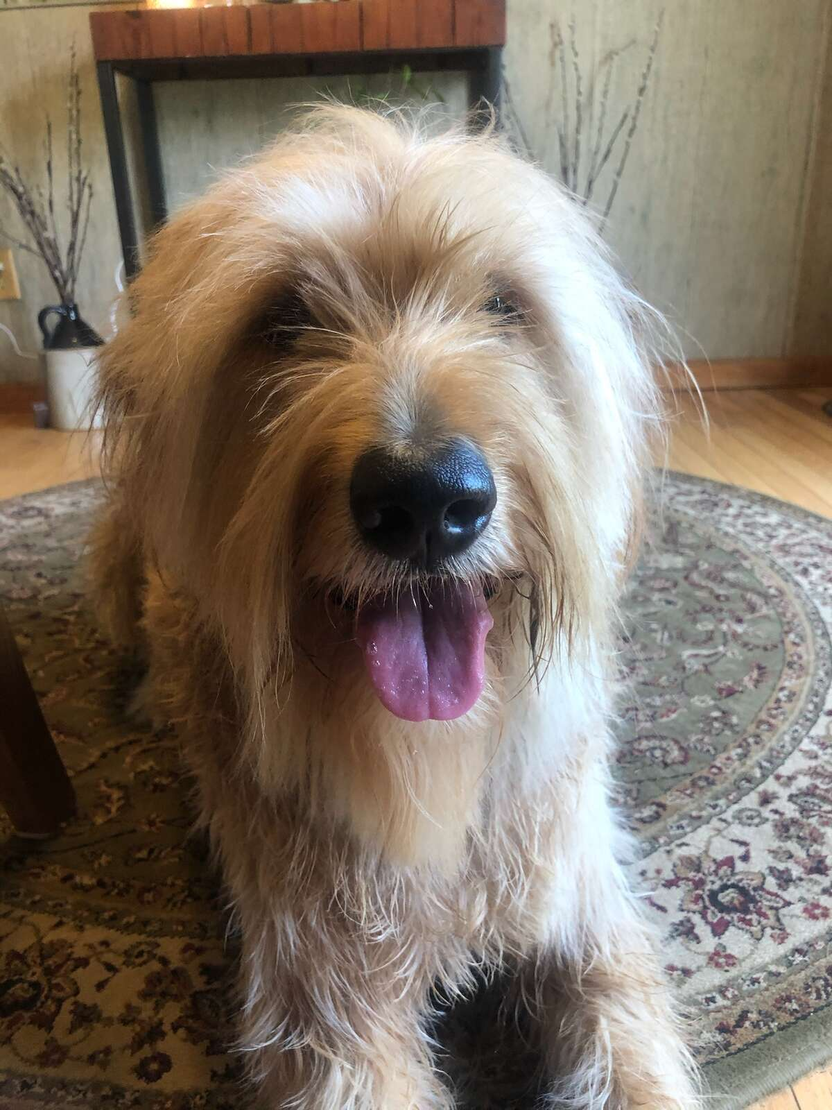 From Taylor DeLong: This is Shaggy. Wolfhound-retreiver mix.