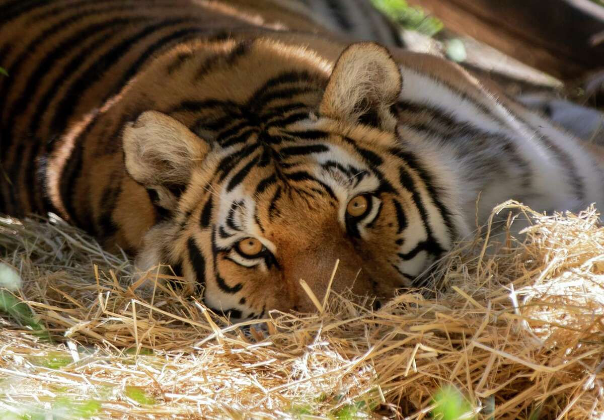 Milou the tiger lounges on a bed of hay inside an enclosure she shares with tigers Ginger and Molly at the Oakland Zoo in Oakland, Calif. Two tigers at the Oakland zoo were the first animals at the zoo to receive an experimental COVID-19 vaccine designed for animals.
