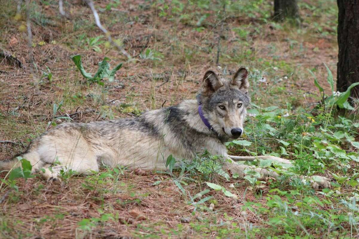 Wolf OR-93 came to California from Oregon this year, traveling all the way to San Luis Obispo County, three hours north of Los Angeles, according to the Center for Biological Diversity. Biologists have not received a signal from OR-93's radio collar since April 5, and the wolf's current location is unknown.