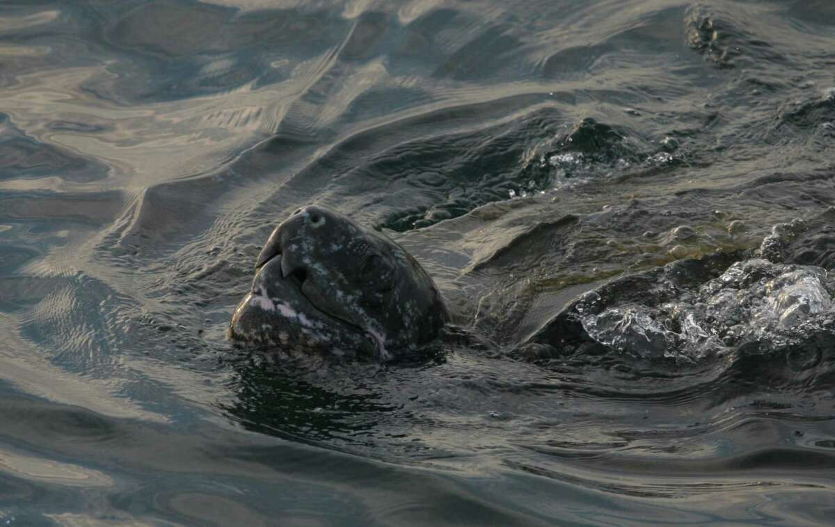 Pacific leatherback sea turtles can be caught in drift gill net gear, which California will pay swordfish boats tostop using.