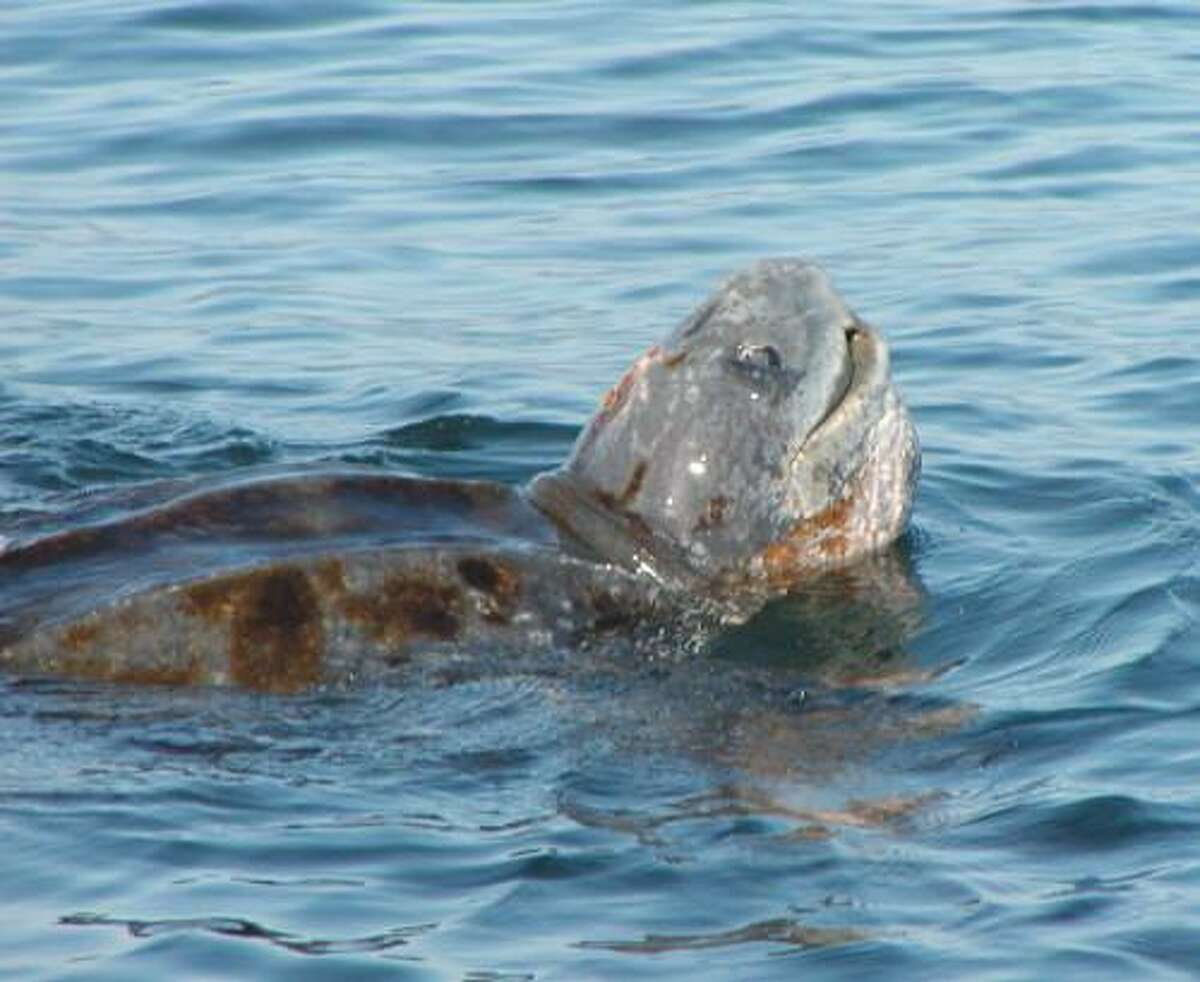 Pacific leatherback sea turtles can be caught in drift gill nets. The state is funding a transition away from such gear.