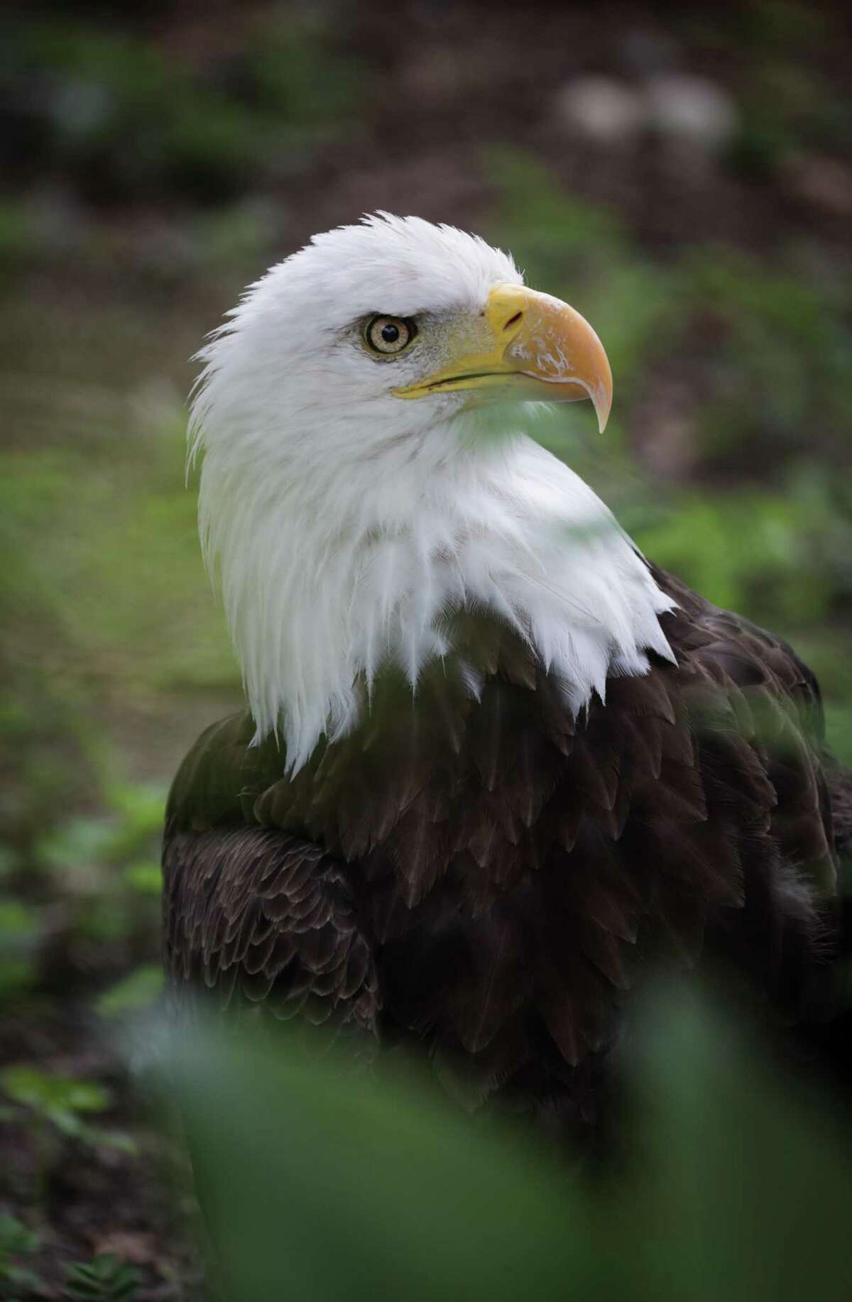 Mae, a bald eagle is resting in her new home at the Houston Zoo Friday, July 2, 2021, in Houston.