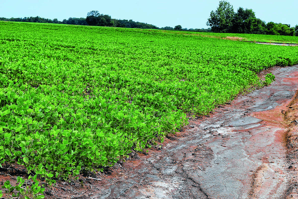 A soybean field dries following the rain from the past week.