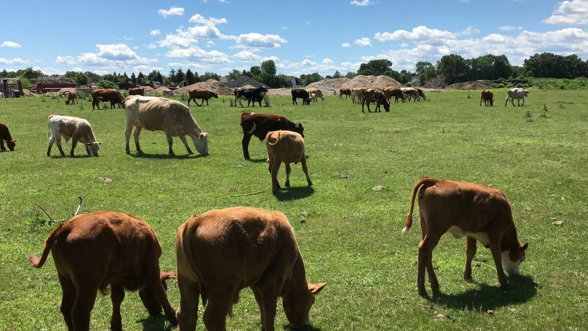 Mike Novack of Loudonville found these cows grazing in a pasture near The Crossings park in Colonie.