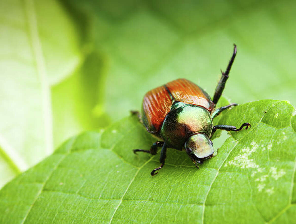 Japanese beetles can be a serious nuisance to gardeners and farmers throughout North America - feeding on more than 300 different species of trees, shrubs and non-woody plants.