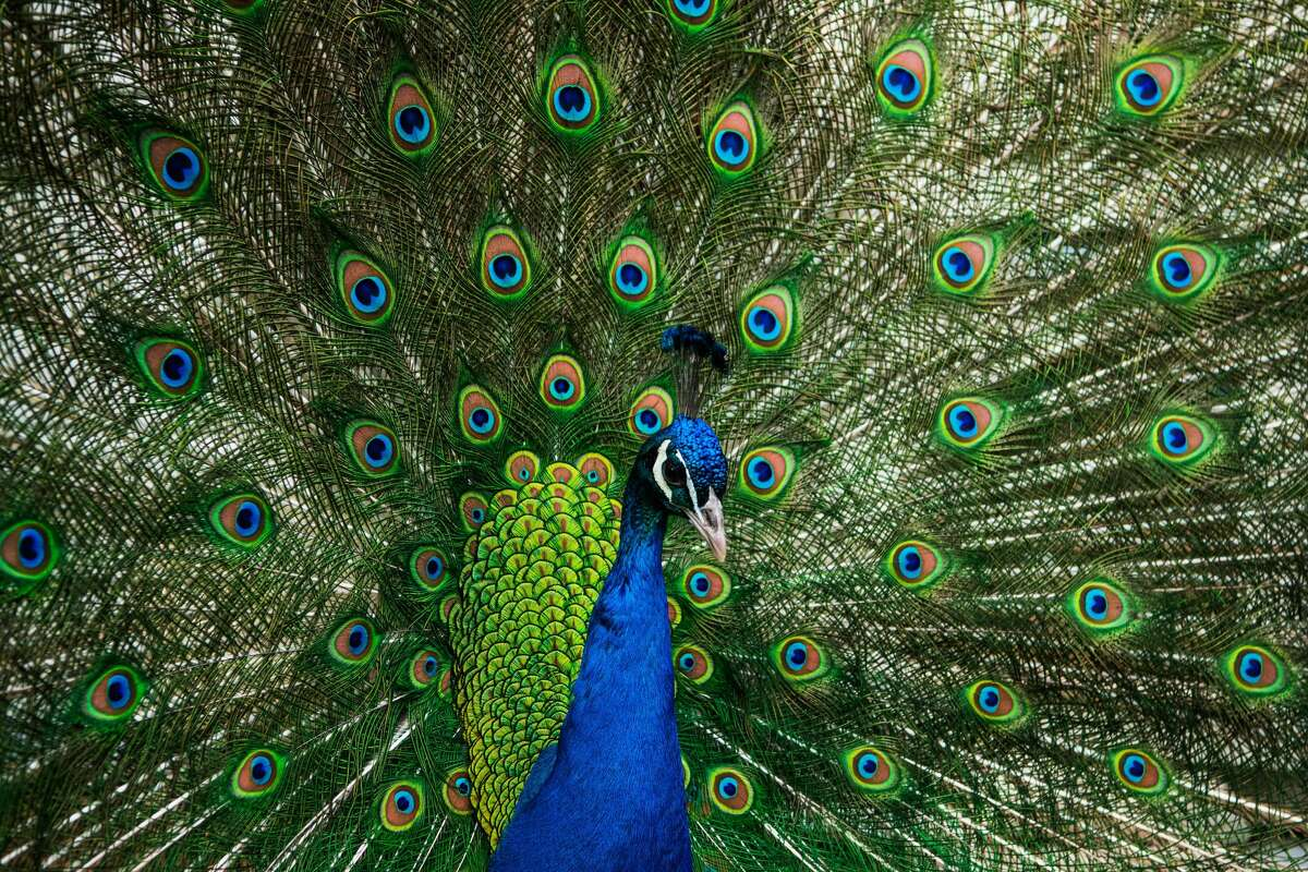 A feral peacock well-known within the Azalea Heights neighborhood of Humboldt County was found dead after a Craigslist ad penned by a neighbor demanded someone to kill it. This is a stock image of a peacock.