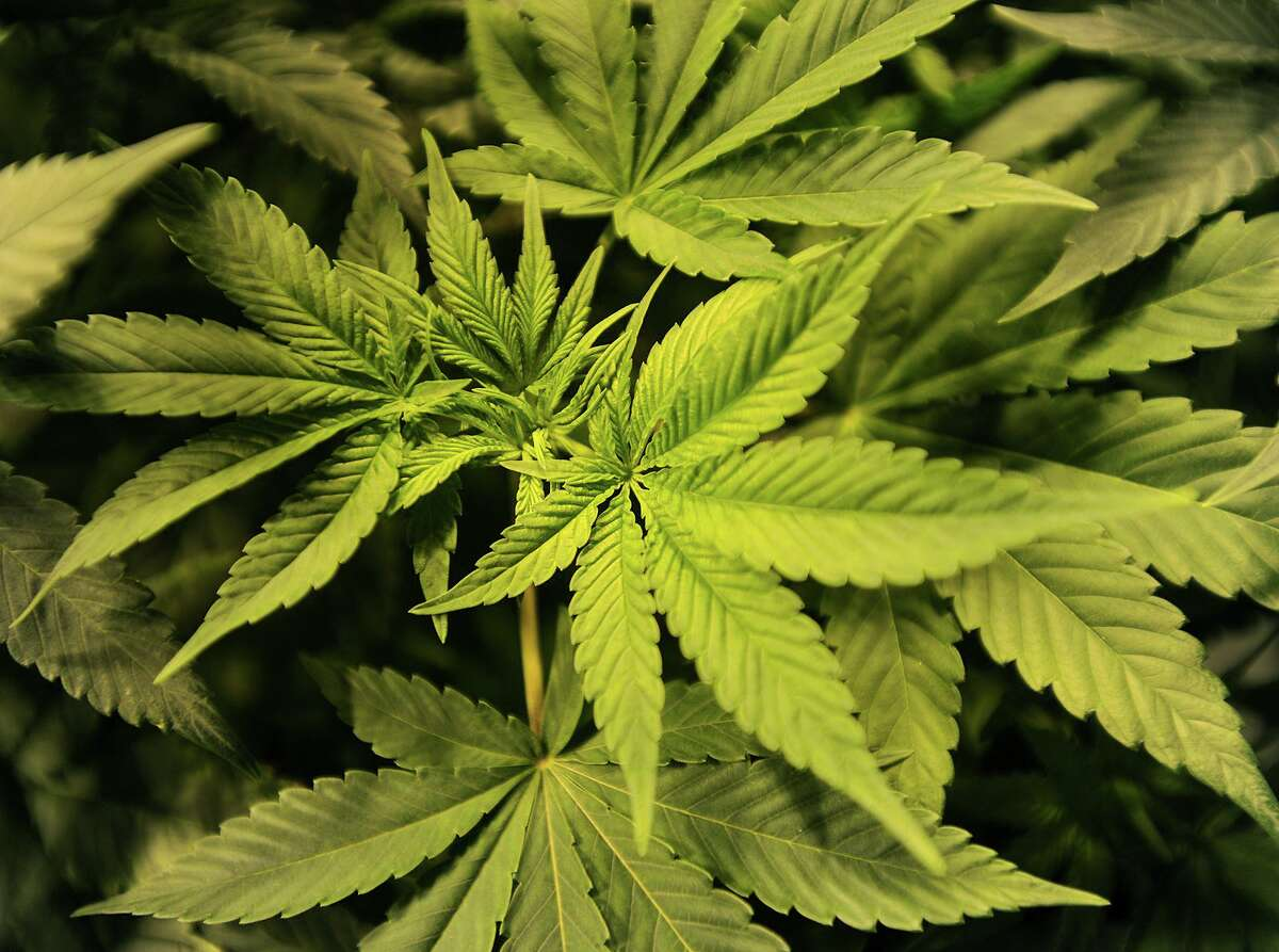 Medical marijuana plants at Advanced Grow Labs in West Haven, Conn. on Wednesday, June 10, 2015.