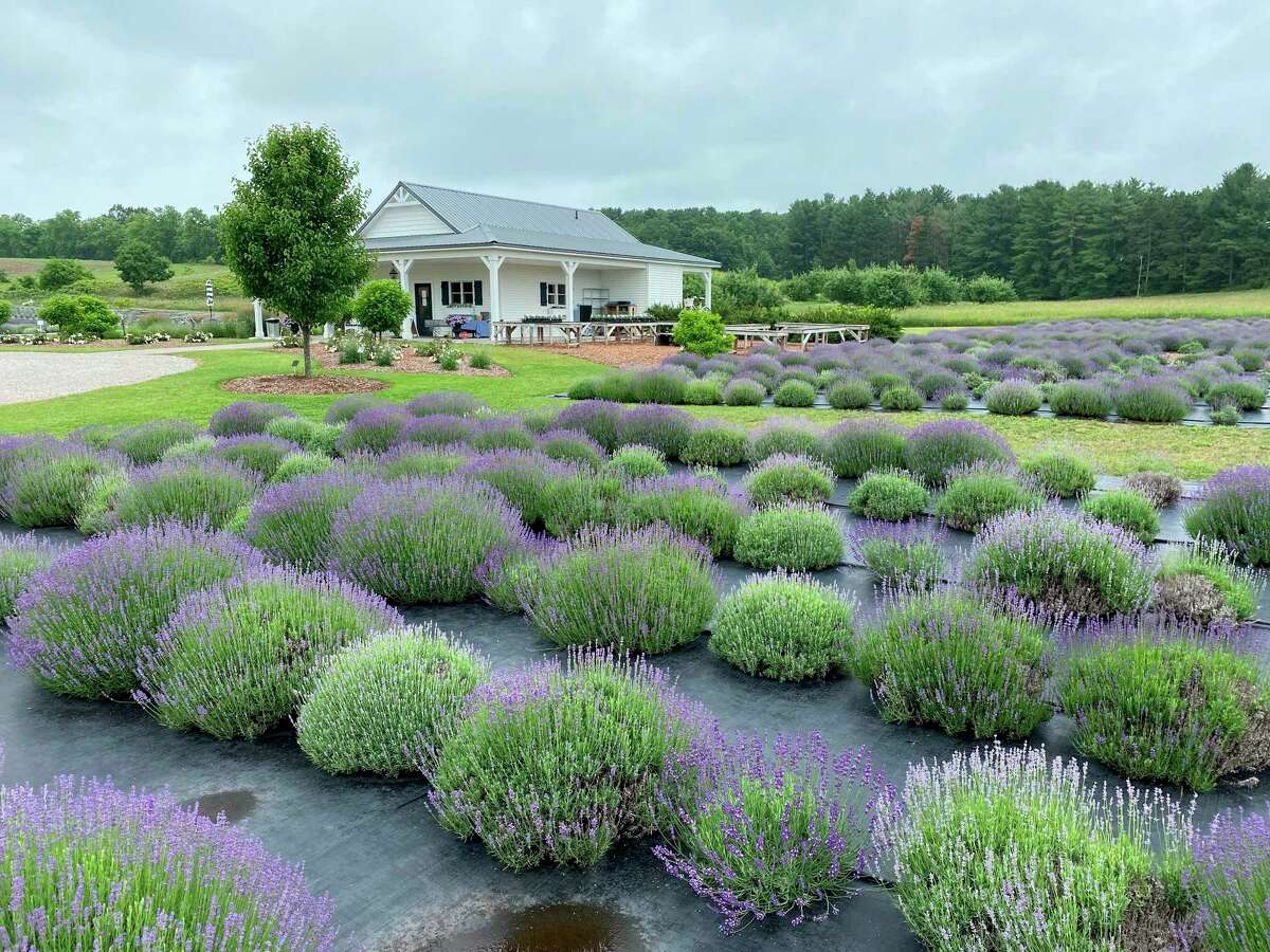 The Secret Garden at Brys Estate includes 6,000 lavender plants and a gift shop.(Courtesy photo)