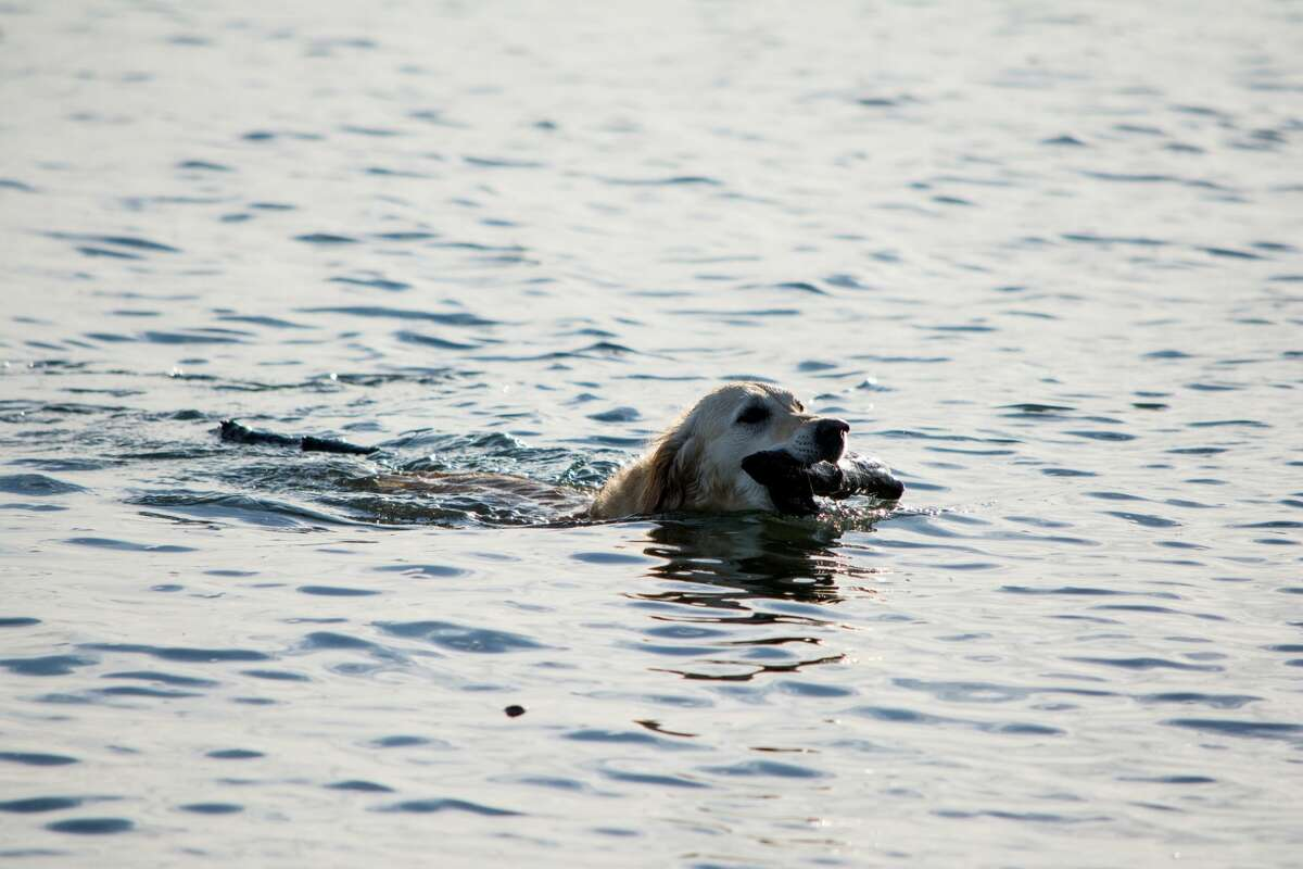 A golden retriever plays fetch in the Puget Sound.
