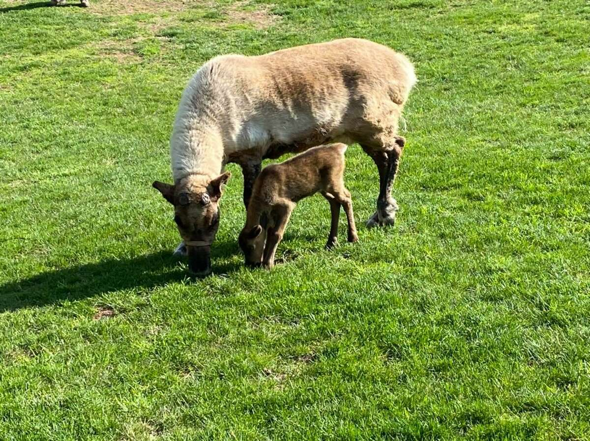 Reindeer Rudy was born at the South Windsor, Conn., farm on April 18, 2021.