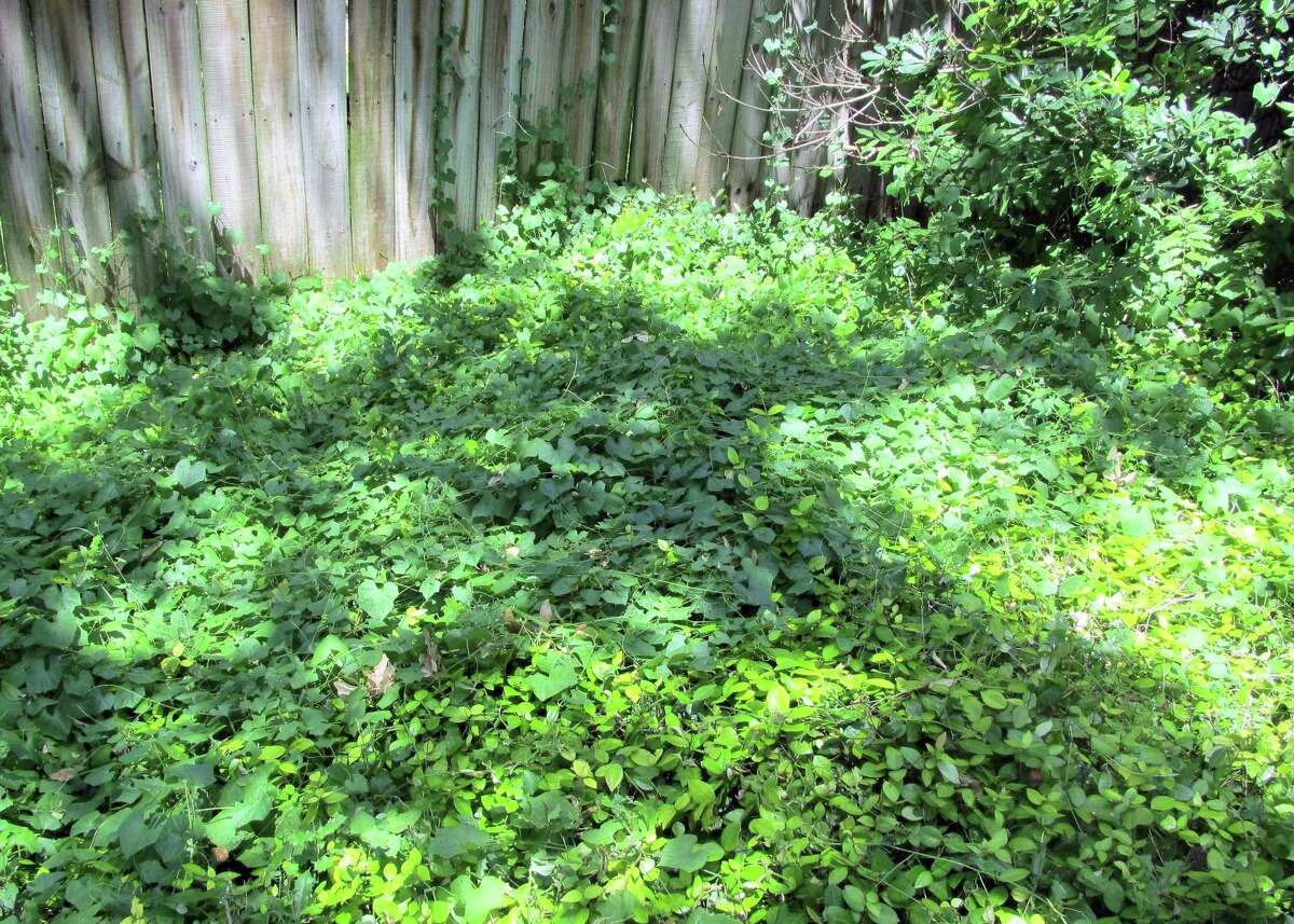 This invasive vine in a bed of jasmine can't be sprayed without damaging the jasmine, too. The reader is going to need to use both hands to scoop the long stems of this weed together into a large ball and then cut or pull it out of the jasmine. It will come back, so the reader will need to repeat a time or two.