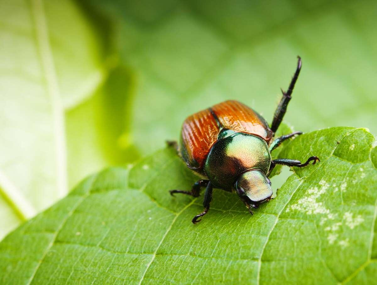 A Japanese beetle feeding on a green leaf.