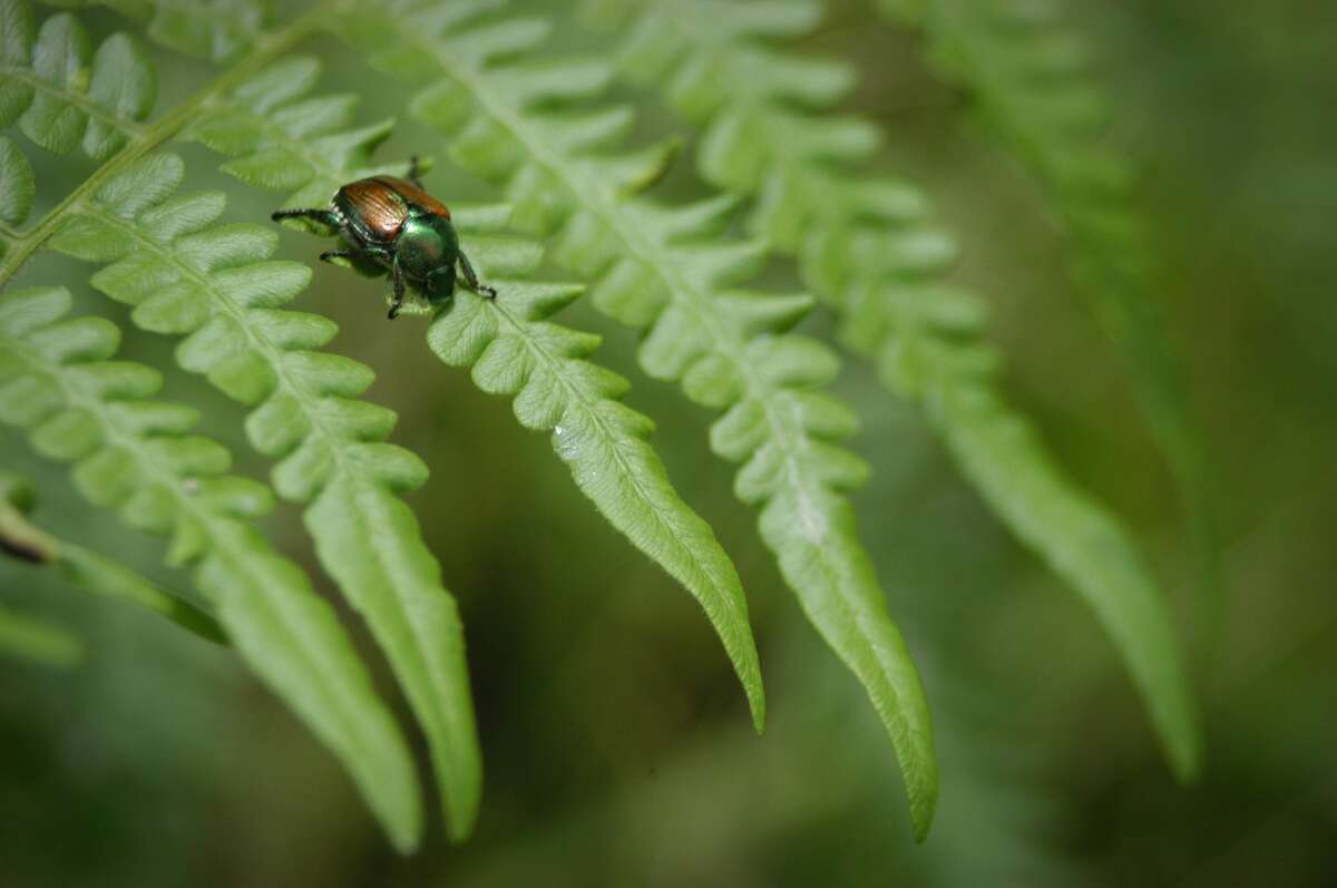 Japanese beetle on a fern.