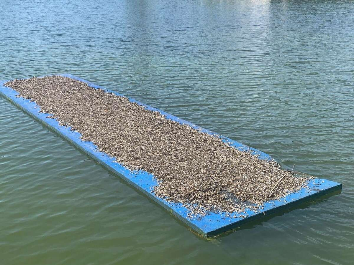 A colony of zebra mussels is shown on an anchored floating mat on Lake Lyndon B. Johnson in Texas in June 2021.