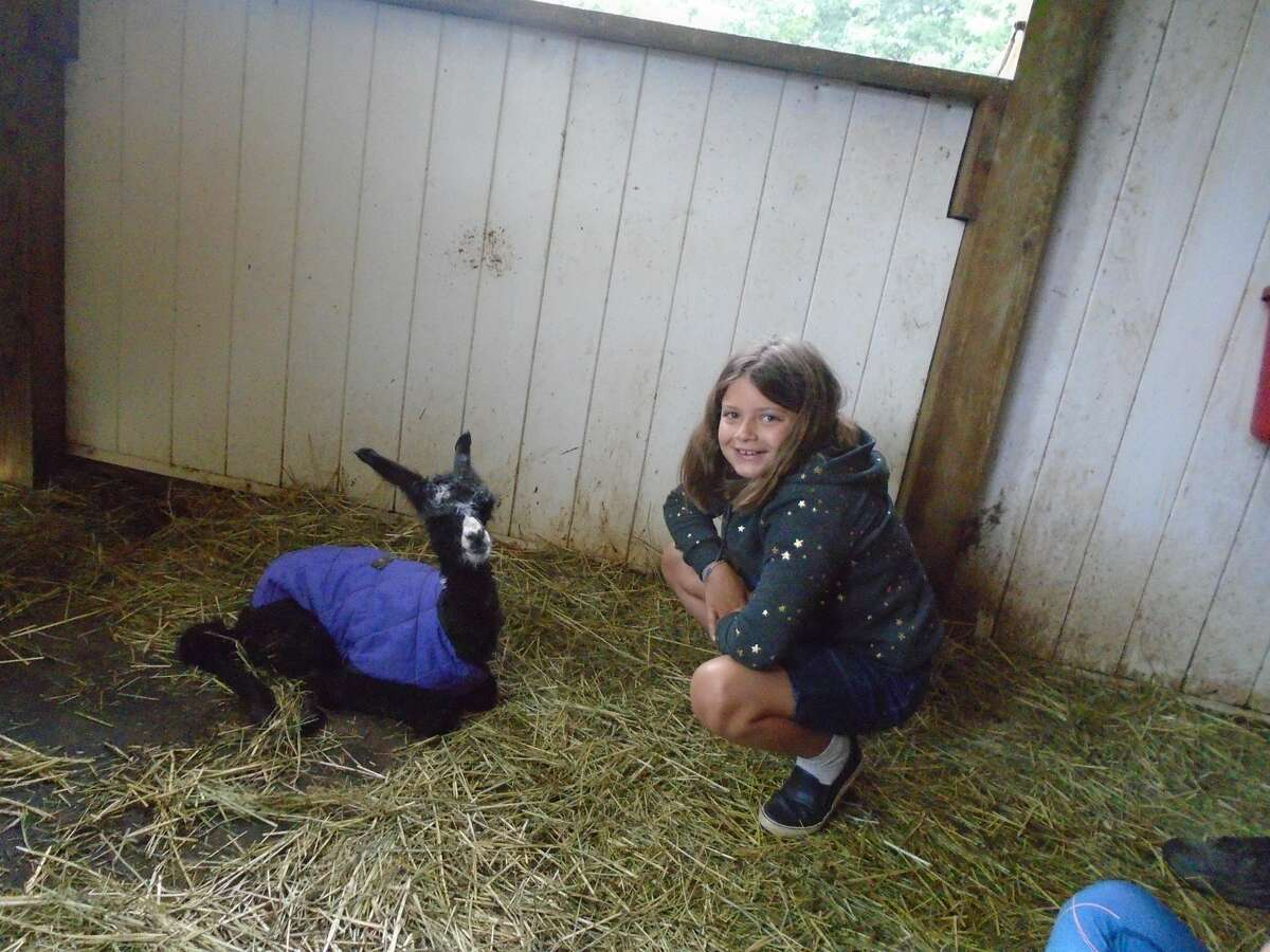 This picture was taken by BJ Aviza of Albany on Saturday, July 3. We were at Dakota Ridge Farm to walk some llamas when Layla decided to have her baby. My son, granddaughter and I all got to help. We got the baby dried off and blanketed because it was cool and rainy. In this picture my granddaughter, Gianna Aviza, 9 years old, of Saratoga Springs, was thrilled just to be near the newborn llama....who was about an hour old in this picture. How many people can say they've seen a llama being born?