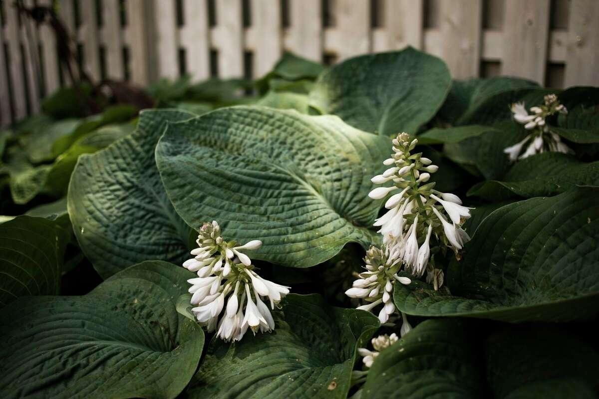 Large hosta plants are featured in the garden of Judy Gunderson and Bill Heeschen, which will be featured on the Reece Endeavor's annual GardenWalk. (Katy Kildee/kkildee@mdn.net)