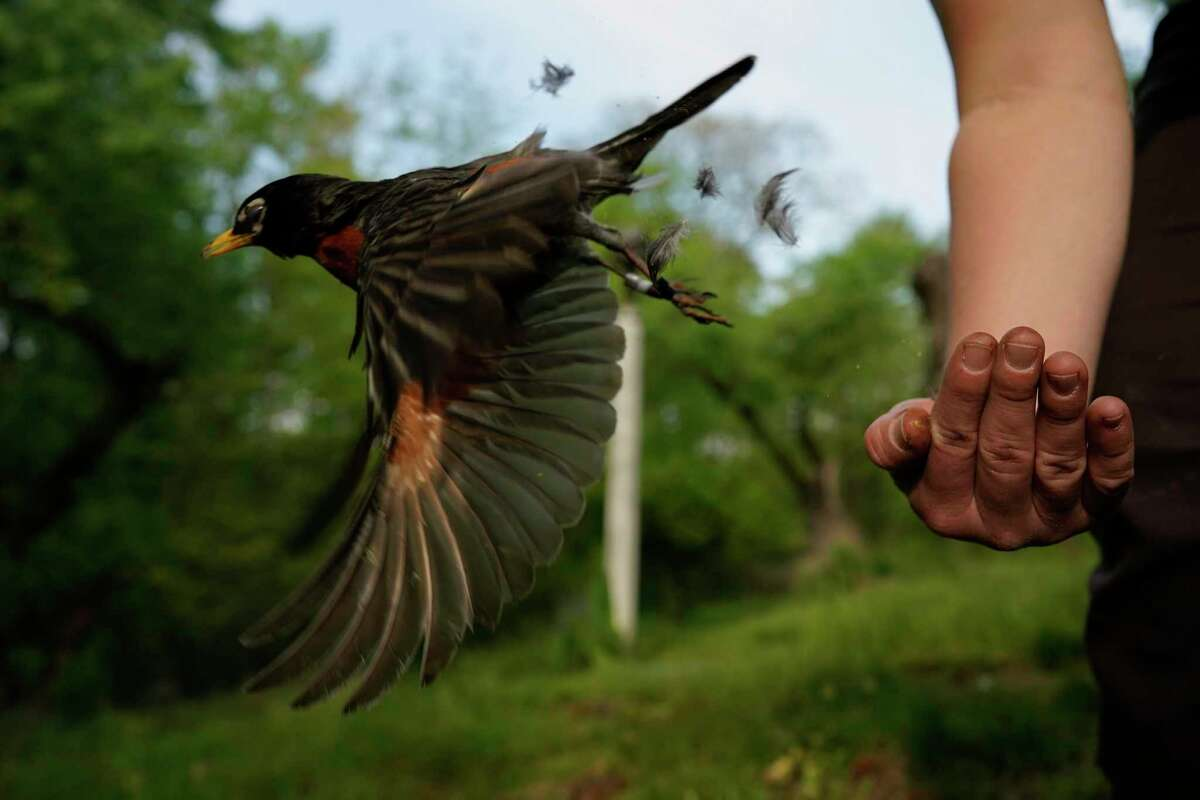 Avian ecologist and Georgetown University Ph.D. student Emily Williams releases an American robin, too light to be fitted with an Argos satellite tag, after gathering samples and data and applying bands, Wednesday, April 28, 2021, in Cheverly, Md. The American robin is an iconic songbird in North America, its bright chirp a harbinger of spring. Yet its migratory habits remain a bit mysterious to scientists. (AP Photo/Carolyn Kaster)