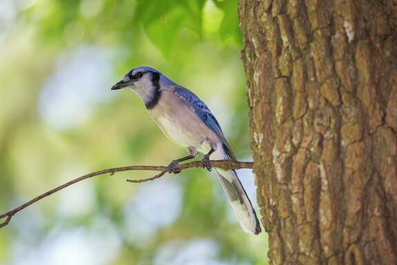 Birds, such as this blue jay, escape the radiant heat from direct sunlight during the summer by retreating to the shade.