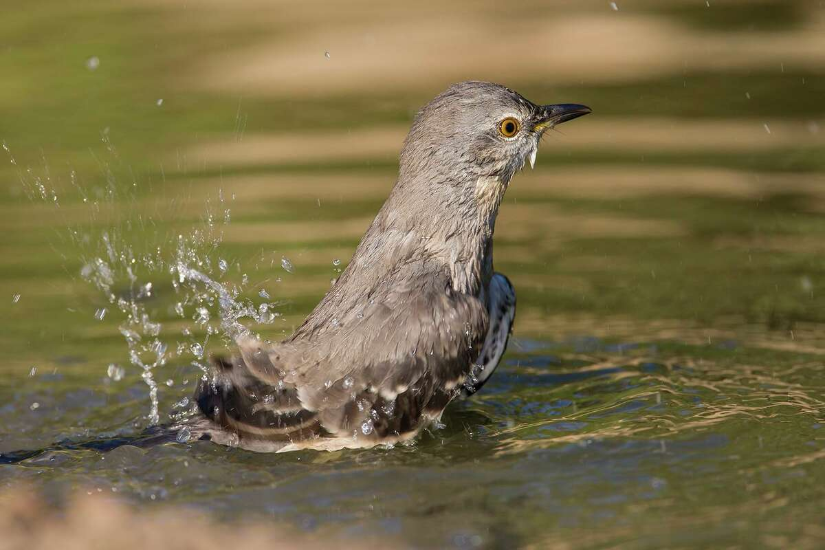 Bathing birds, like this northern mockingbird, like a birdbath with a rough surface and clean water. Photo Credit: Kathy Adams Clark. Restricted use.