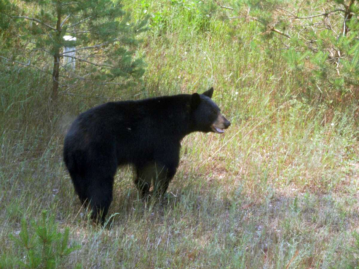 Two black bears appeared in broad daylight at the Bodell home in Benzonia Saturday. Cathy Bodell snapped these photos during their visit.