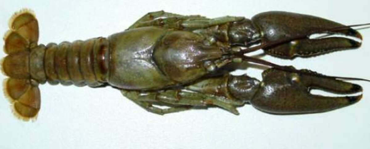 Crayfish are ubiquitous and they eat just about anything.