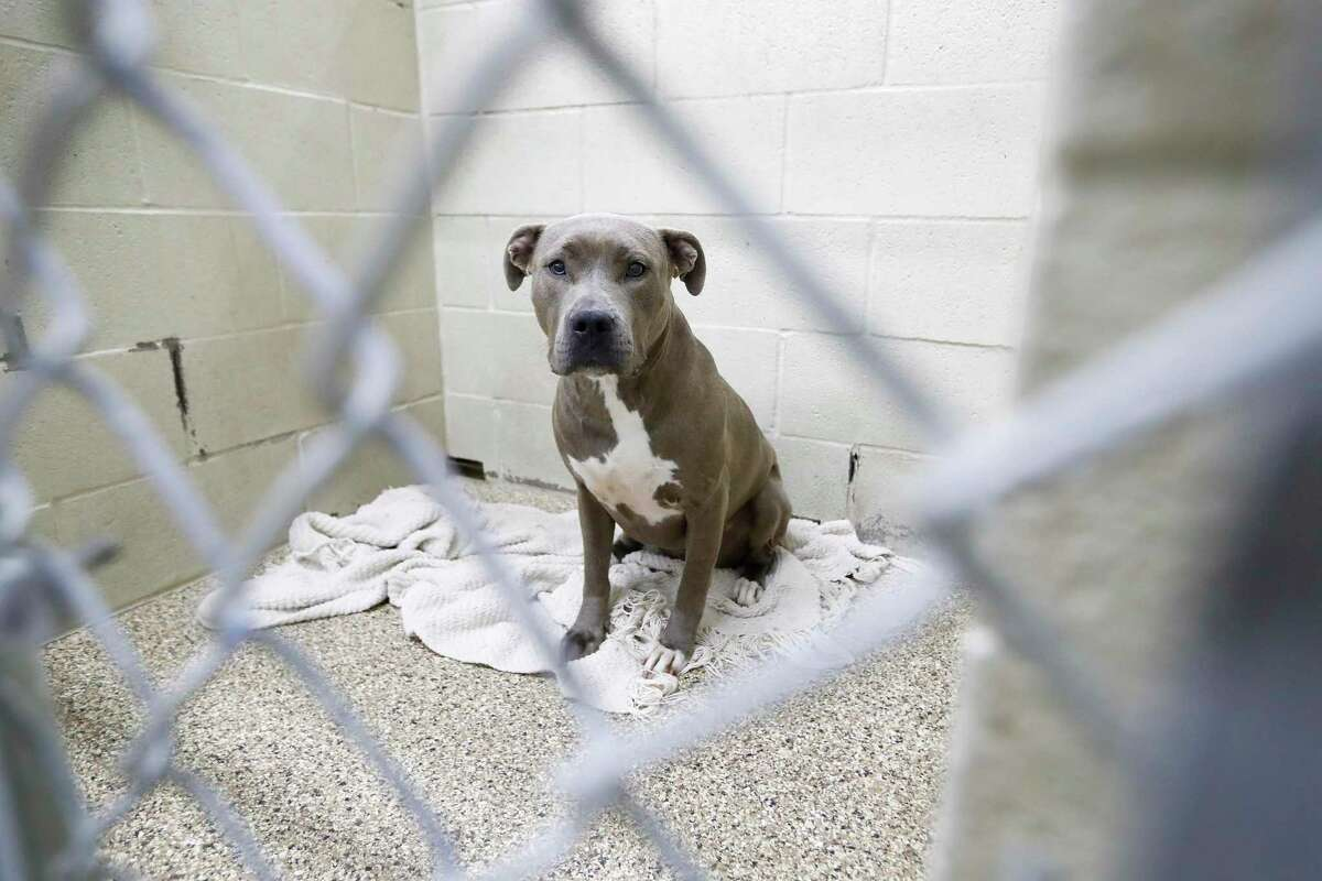 A dog sits inside of a kennel at the City of Katy Animal shelter, Thursday, July 1, 2021, in Katy. Katy residents and animal advocates say more needs to be done to fix the Animal Control Department after a whistleblower accused its employees of multiple animal abuse allegations.