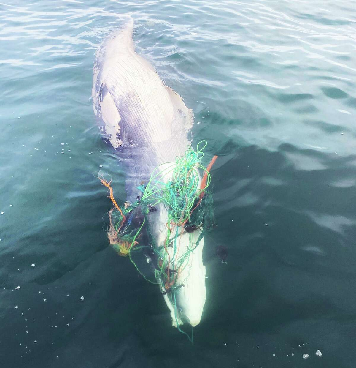 A dead minke whale was found entangled in gear off the Rhode Island coast this week. Mystic Aquarium crews helped free the carcass.