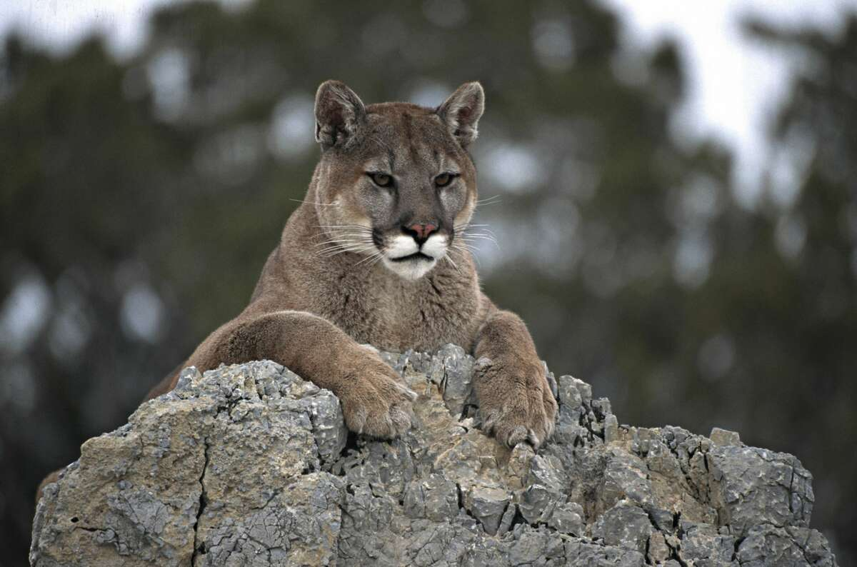 Mountain lions are among the threatened species the Liberty Canyon Wildlife Crossing would protect.