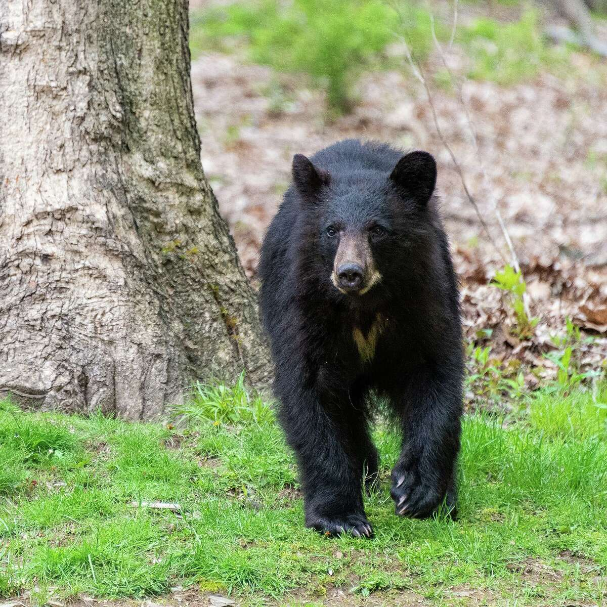 A file photo of a bear in New Milford, Conn., taken back in 2019. In Ansonia on Wednesday, July 7, 2021, police said there was a bear sighting in the area of Rockwood Avenue and Granite Terrace.