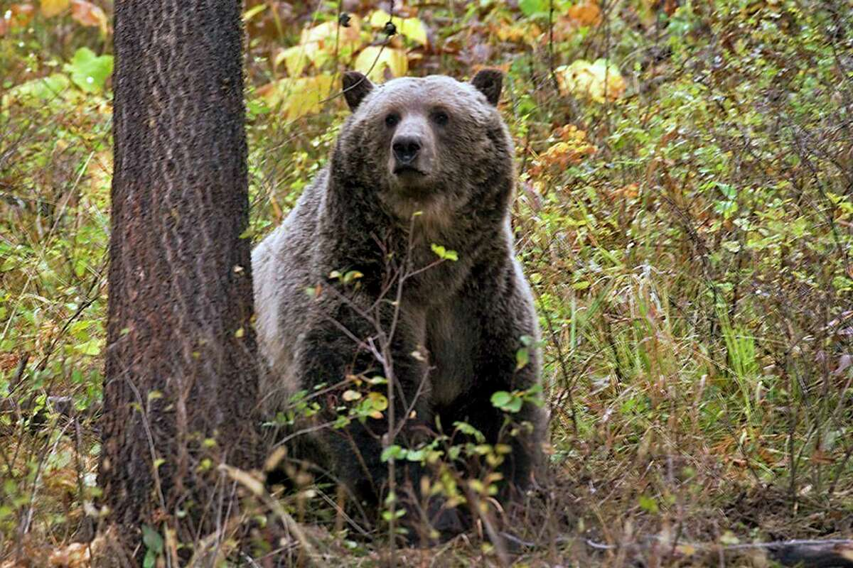 A bear fatally attacked a camper in western Montana on Tuesday, July 6, 2021, the latest in a handful of serious incidents between humans and bears in the state. (Montana Fish, Wildlife and Parks via The New York Times)