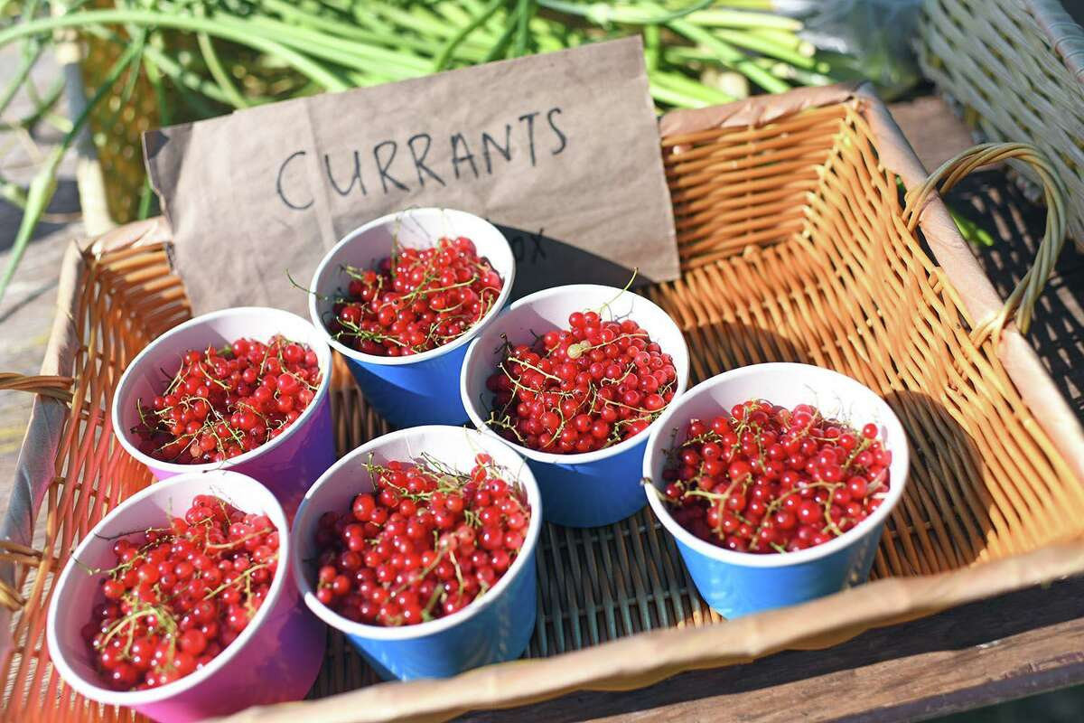 Students who run Wesleyan University's Long Lane Farm have begun harvesting crops from the two-acre property in Middletown, including currants.